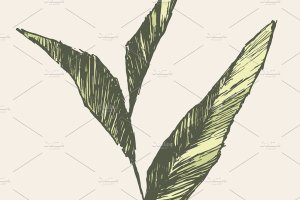 精简的手绘茶芽矢量图 Tea sprout插图2