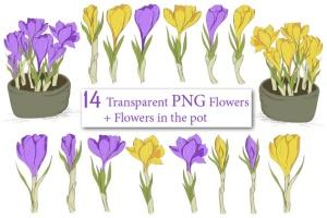 春天藏红花水彩插画设计素材 Crocus. Spring Flowers collection插图3