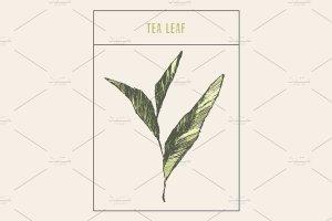 精简的手绘茶芽矢量图 Tea sprout插图1