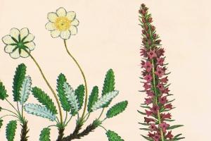 古籍书本植物手绘插画PNG素材v1 Vintage Botanical Illustrations Vol.1插图2